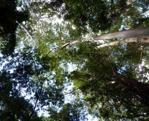 eucalypt canopy