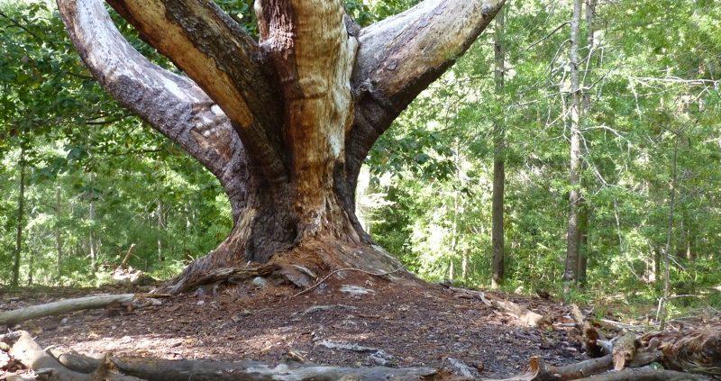 Angeles tree