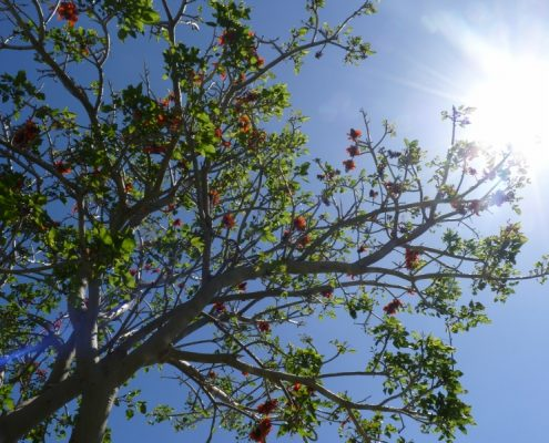 coral tree 5